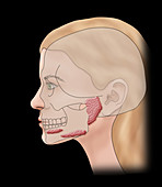 Salivary glands, illustration