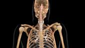 Nasal Passageway, Trachea and Bronchial Tubes