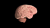 Healthy Brain, Lateral View