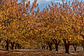 Cherry orchard in autumn
