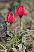 Tulip of Goulimis (Tulipa goulimyi)