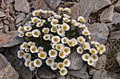 Glacier crowfoot (Ranunculus glacialis) flowers