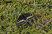 Short-tailed swallowtail butterfly
