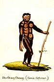 Orangutan, 19th century
