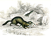 European polecat, 19th century