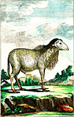 Domesticated sheep, 19th century