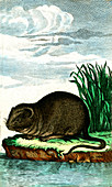 European water vole, 19th century