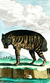 Striped hyena, 19th century