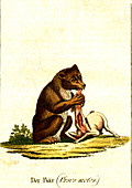 Brown bear, 19th century