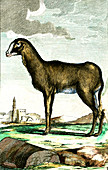 Indian sheep, 19th century