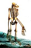 Orangutan skeleton, 19th century
