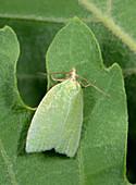 Green oak tortrix moth