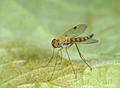 Little snipe fly, male