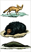 Fennec fox, sloth bear and elephant seal, 19th century