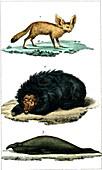 Fennec fox, sloth bear and elephant seal, 19th century