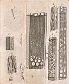 Tree wood anatomy by van Leeuwenhoek, 1680