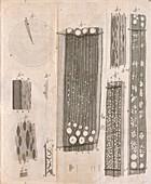 Tree wood anatomy by van Leeuwenhoek, 1680