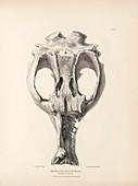 Toxodon prehistoric mammal fossil skull, 19th century
