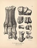 Macrauchenia prehistoric mammal fossils, 19th century