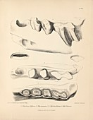 Ground sloth prehistoric mammal fossil teeth, 19th century