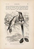 Darwin on sexual selection in birds, 1871