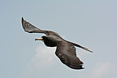 Magnificent Frigatebird adult male