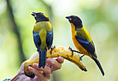 Black-chinned mountain tanagers