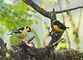 Flame-faced tanager and Euphonia