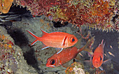 Blackbar soldierfish (Myripristis jacobus)