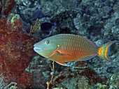 Stoplight Parrotfish, Terminal phase