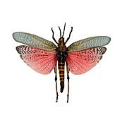 Rainbow Milkweed Locust