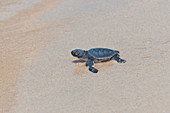 Young Pacific Green Turtle