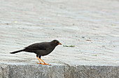 Great thrush (Turdus fuscater)