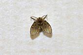 Mothfly
