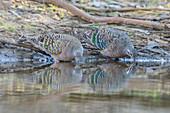 Common Bronzewing Pigeons