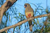 Blue-bonnet Parrot