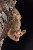South-eastern Long-eared Bat