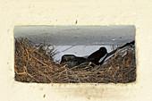 Orienta Magpie-robin