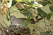 Spotted Dove with Chicks