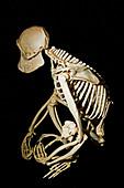 Chimpanzee Adult Male Skeleton