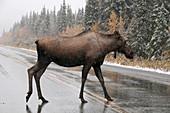 Moose Crossing Highway