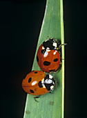 Seven spotted ladybirds