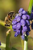 Drone fly on grape hyacinth