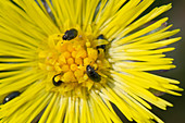 Coltsfoot and pollen beetles