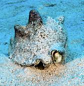 Milk Conch (Strombus costatus)