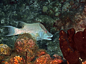 Hogfish (Lachnolaimus maximus)