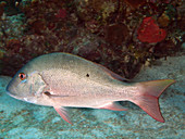 Mutton Snapper (Lutjanus analis)