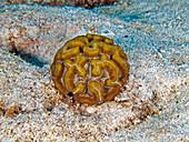 Rose Coral (Manicina areolata)