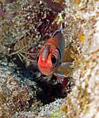Blackbar soldierfish with Isopod