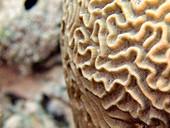 Grooved Brain Coral, Diploria labyrinthiformis